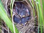 Nesting saltmarsh sparrows