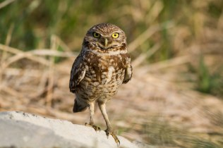 Burrowing owl Photo by Julie Memmolo