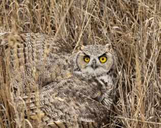 Great horned owl Photo by Lloyd Bush