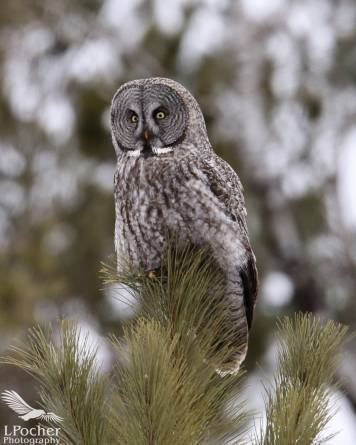 Great gray owl Photo by Laurie Pocher