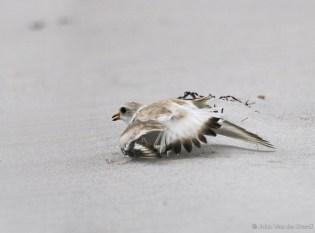 A plover feigns a broken wing to draw predators away from the nest. Photo by John Van de Graaff