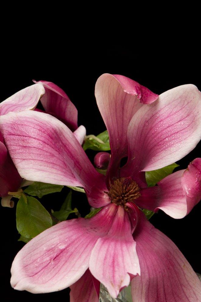 木蓮 MagnoliaフリーDL商用利用可_003_usharp