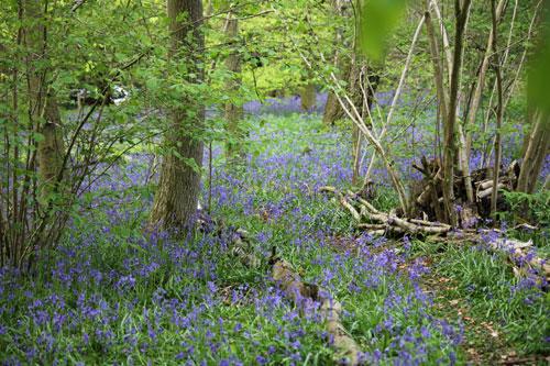 Minor wood, major bluebells