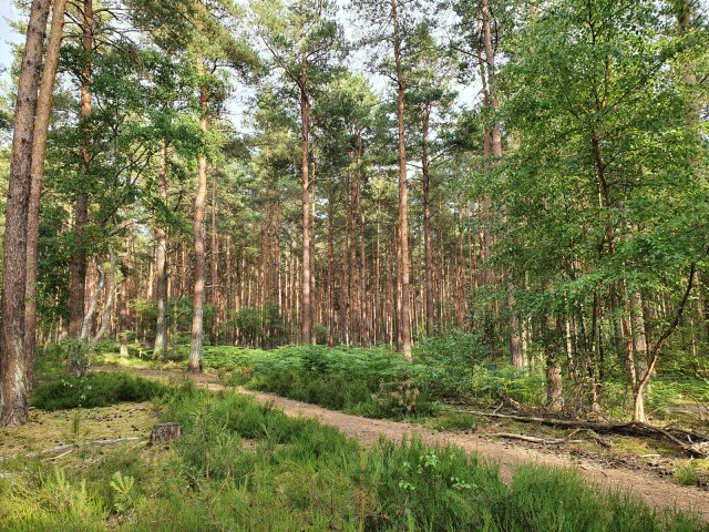 The pine woods at Frensham Little Pond