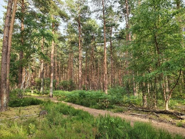 The pine woods at Frensham Little Pond