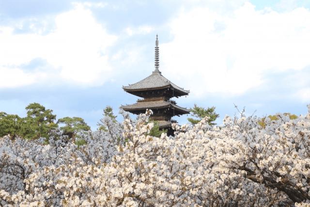 京都の桜の見頃はいつまで例年の目安と特に遅咲きの地域の情報を紹介