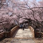 高遠城址公園へ桜の見頃に車で行くのは無謀!?駐車場とアクセス情報