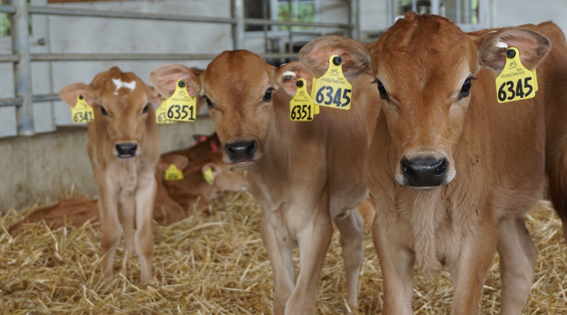 New Undesirable Genetic Factor Identified in Jersey Breed