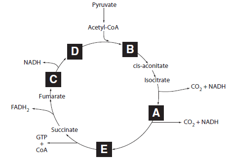rate-limiting enzyme of glycolysis and activates the rate