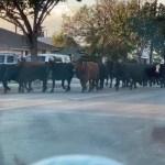 【20頭逃跑奶牛橫穿南加小鎮馬路 街頭小跑 警方呼籲民眾繞行】