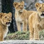 【科州丹佛動物園11只獅子感染德爾塔病毒 咳嗽、打噴嚏流鼻涕】