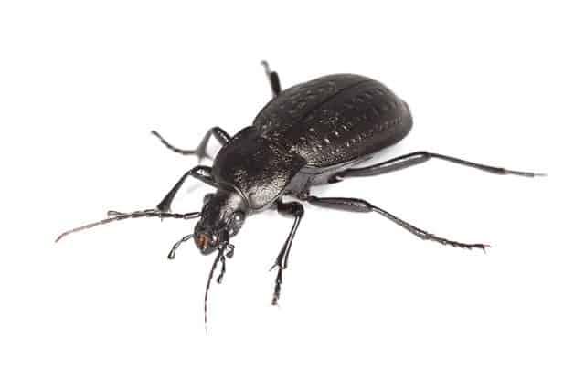 House Beetle 7