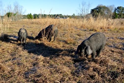 Porcs noirs de Bonifay à Twin Oaks Farm_usproject2016.com (2)