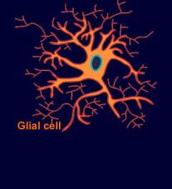 looks like an astrocyte