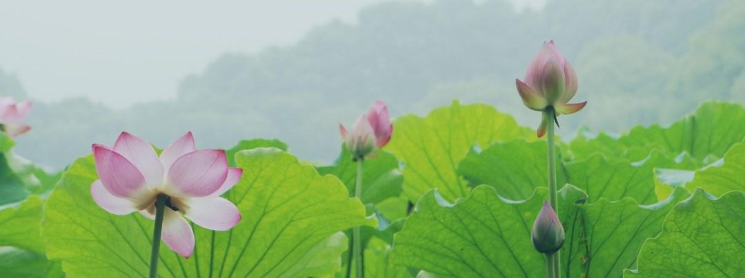 lotus-939147_1920