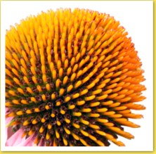 Coneflower seeds are a good remedy for herpes