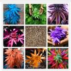 Japanese Rainbow Hemp Seeds