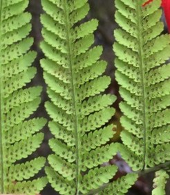 soriis on the undersides of fern fronds