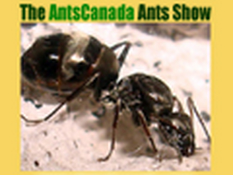 the antscanada ants show