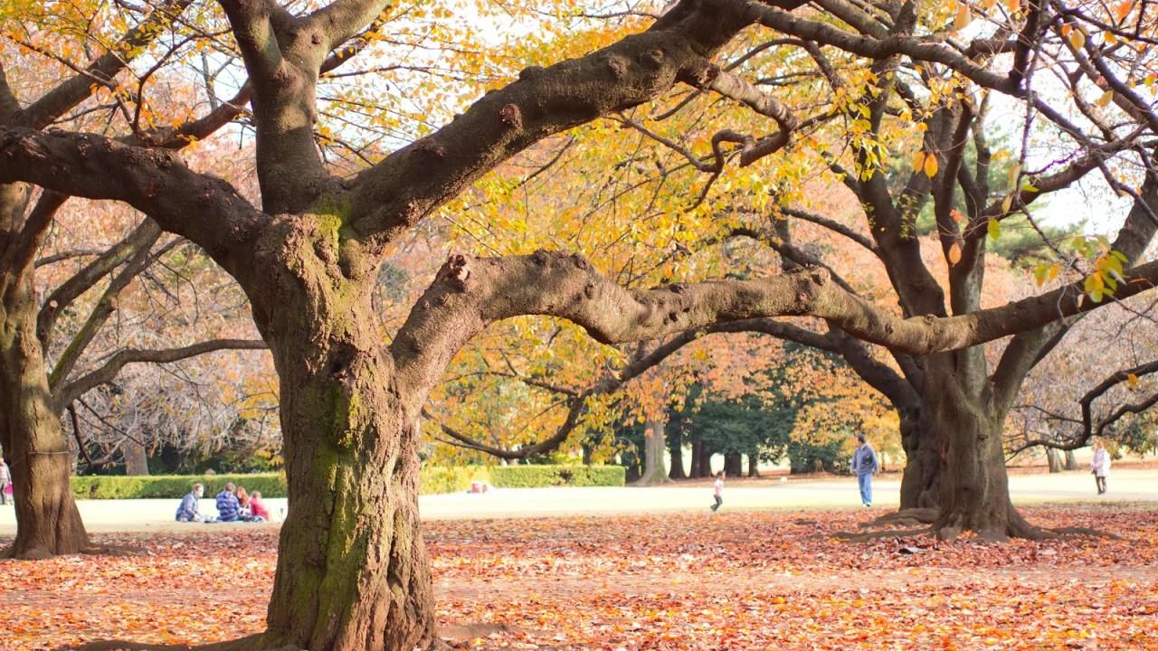 美しい紅葉の木がある公園