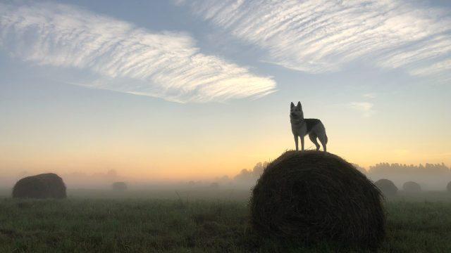 草原にある牧草に乗る犬