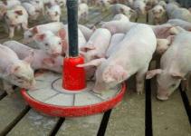 Pig farming in Nigeria