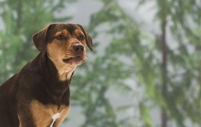 Upcoming American Movie A Dog's Way Home 2019 Trailer Released