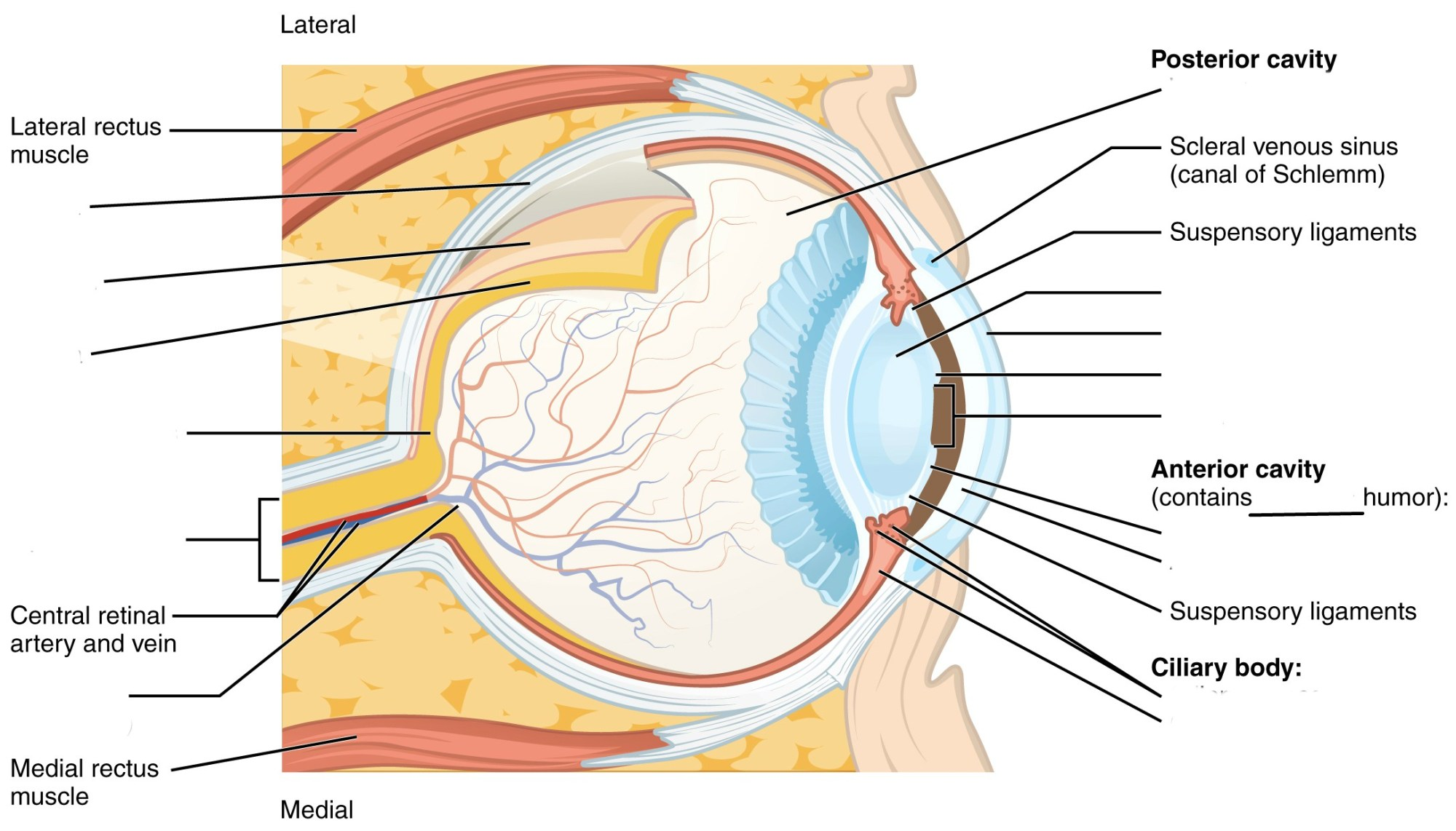 hight resolution of predefined space to label the structures and regions of the human eye anatomy