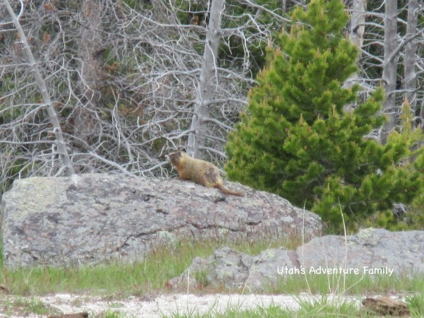 We saw this guy at Old Faithful. Marmots are in all parts of the park.