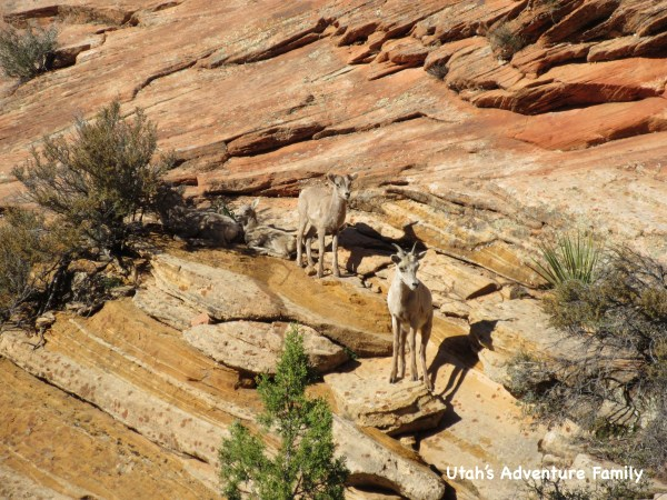 We saw the Bighorn Sheep both times we drove to the east in two different spots each time.