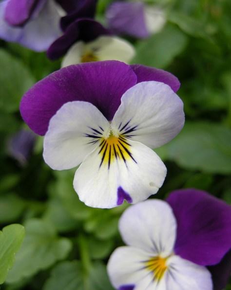 Purple Violas, my favorite