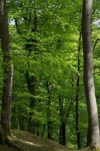 Vacker bokskog