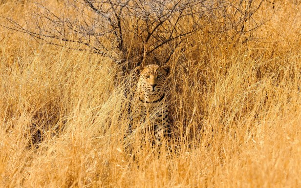 high-definition-lg-africa-spots-predator-fields-cuteleopard-grass-animals-camo-cats-wildlife-landscapes-savannahamazing-mac_1920x1200.jpg