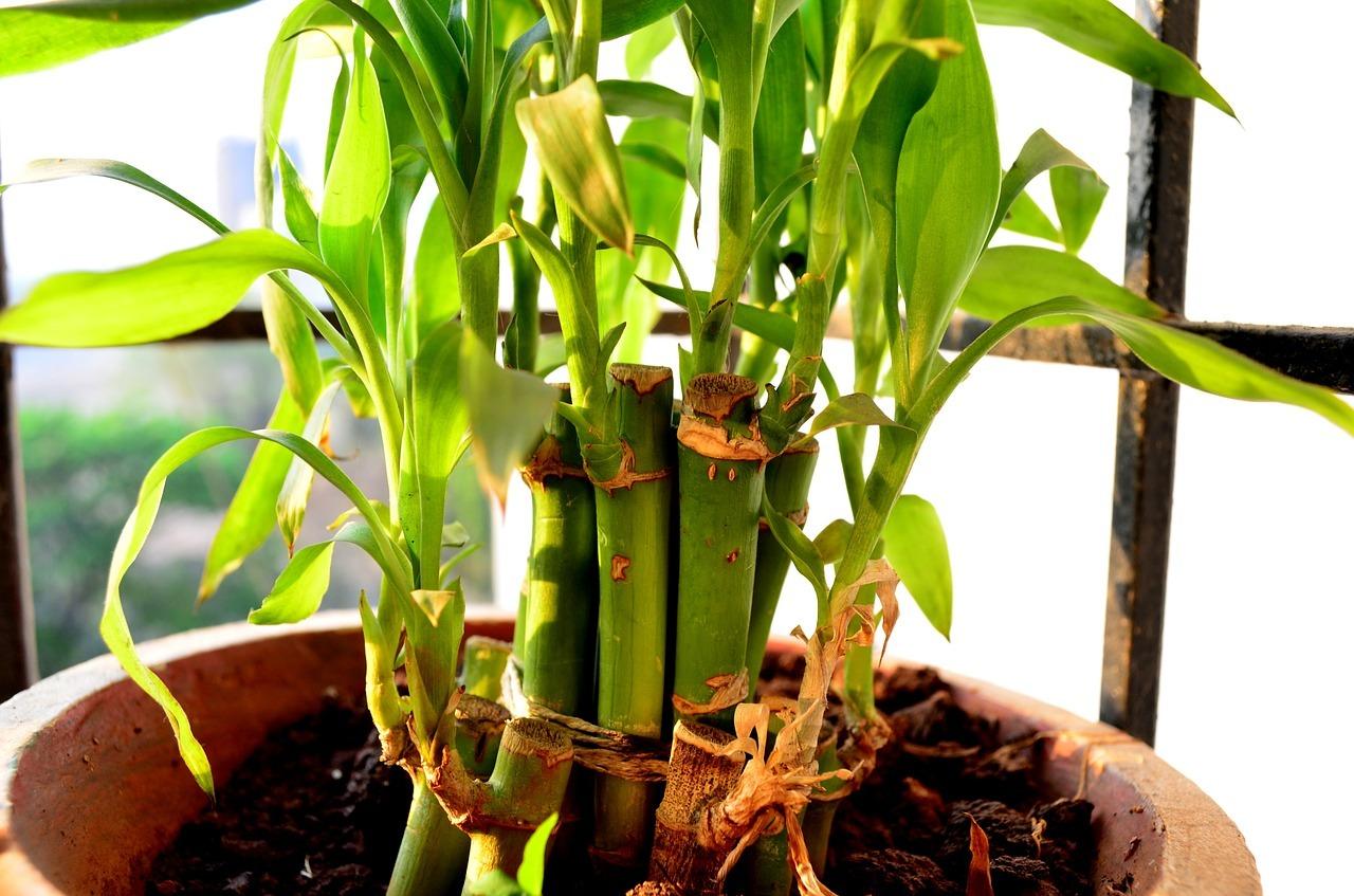 Bambus Garten Pflege Mediterranen Pflanzen Im Garten Bambuswald