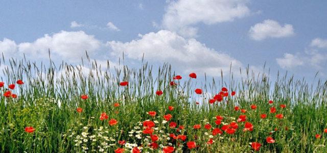 Wildblumen sind hbsch lecker und gesund 7 Tipps