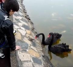 Baby black swan gets confused