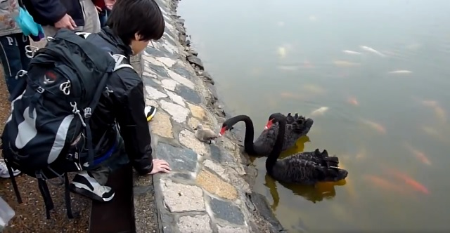 Baby black swan gets confused