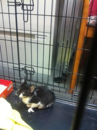 Annabelle, Gray Mama Kitten, 2011