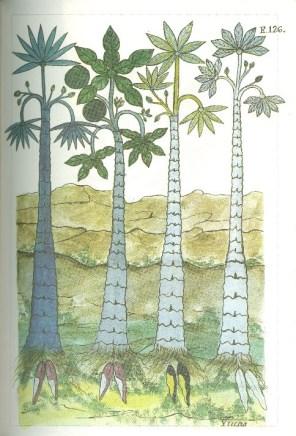 YucaCassava (manihot esculenta)
