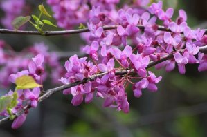 arkansas redbud blossoms