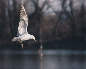 Seagull over water.
