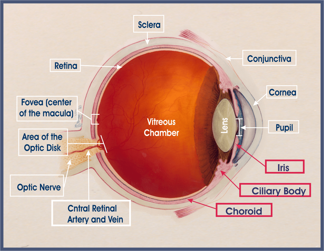 hight resolution of anatomy of the eye