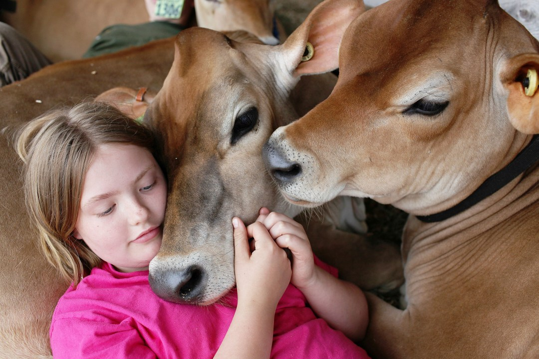 Cuddling with cows
