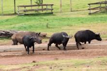 Buffalo shimmy shake