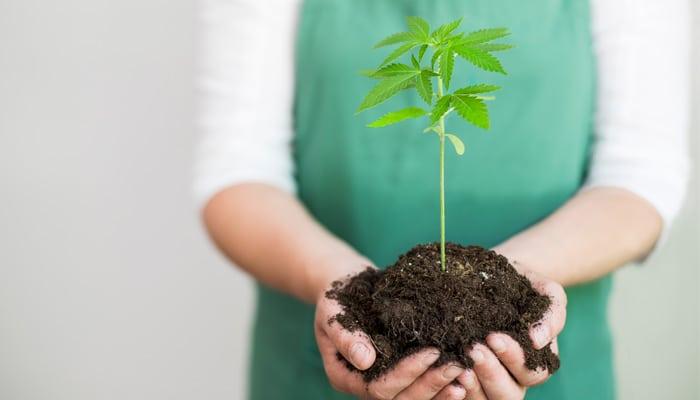 Une femme tenant une bouture de cannabis entre ses mains