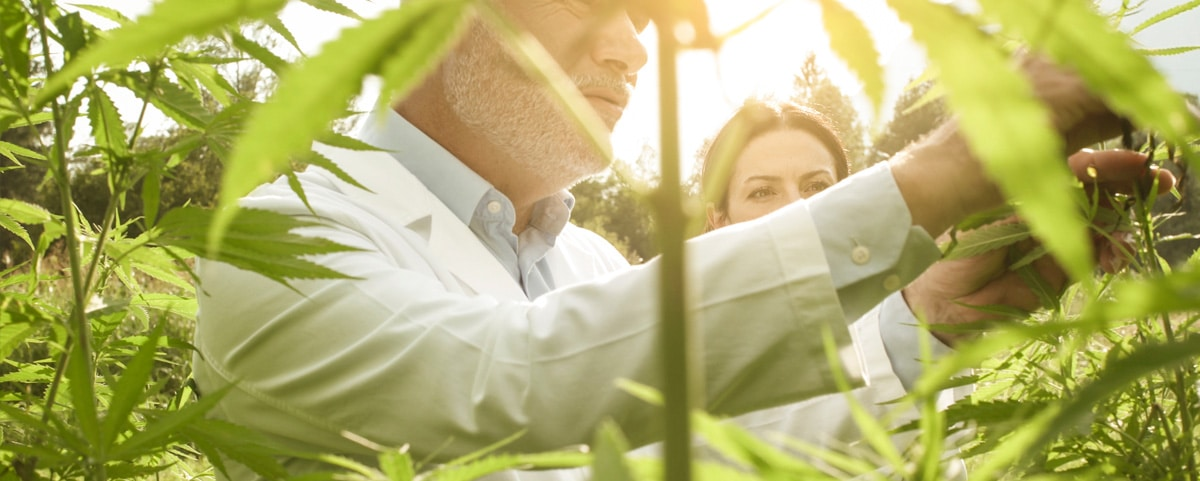 Un homme et une femme dans une culture de cannabis