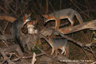 A family of Gray Foxes, on of the creatures affected by habitat fragmentation.