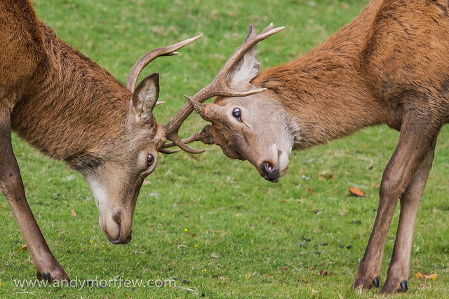 Information on Rutting Season
