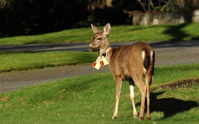 Urban Deer Research Project Successfully Tags 20 Does