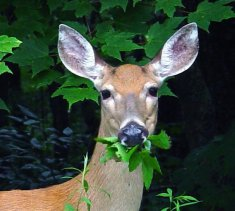 Oak Bay & the UWSS Receive Provincial Funding for First Phase of Urban Deer Research Project!
